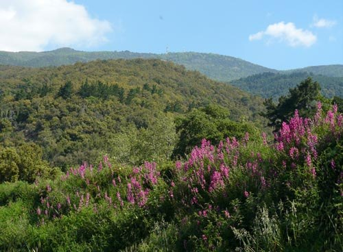 snapdragons-in-montseny