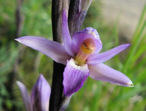 violet-birds-nest-orchid-limodorum-abortivum