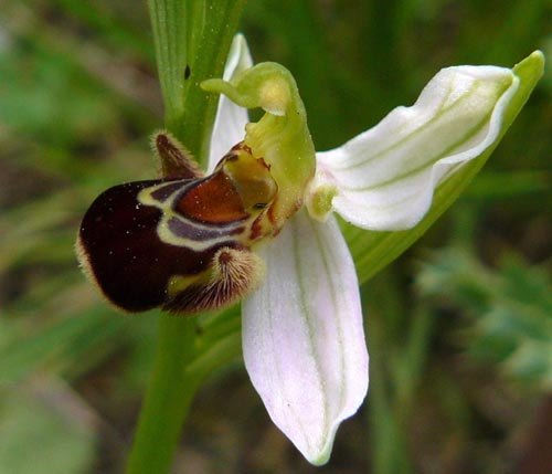 bee-orchid-ophrys-apifera-on-montjuic