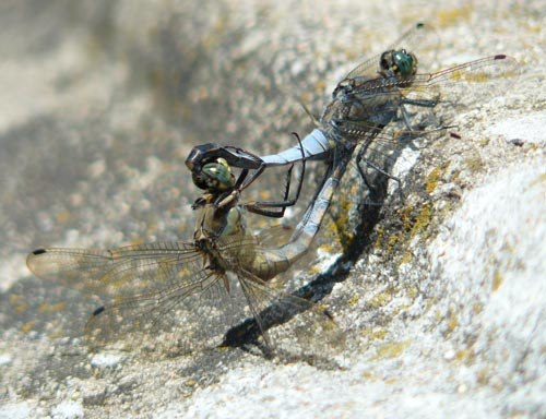 black-tailed-skimmers-orthetrum-cancellatum