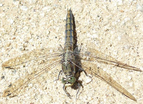 female-black-tailed-skimmer1