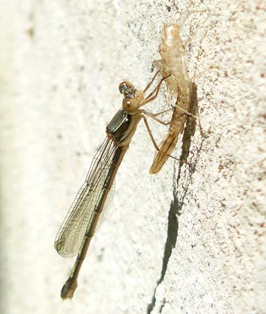 lestes-viridis-damselfly-with-exuvia