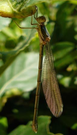 lestes-viridis-damselfy-recently-emerged