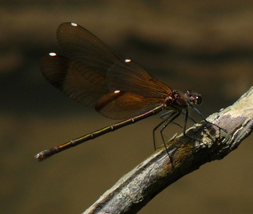 copper-demoiselle-female-showing-wing-spots