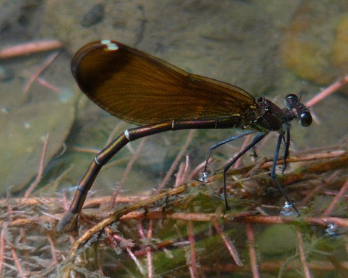 copperdemoiselle-female-ovipositing