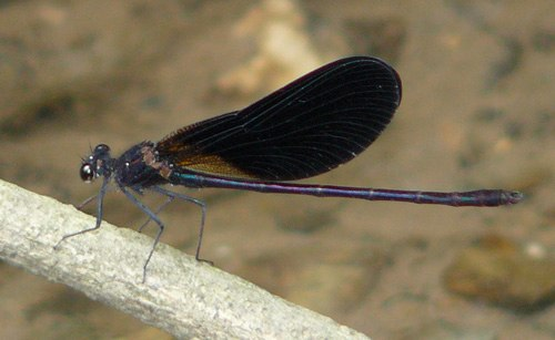 male-copper-demoiselle-calopteryx-haemorrhoidalis