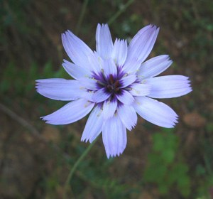 cupids-dart-flower-catananche-caerulea