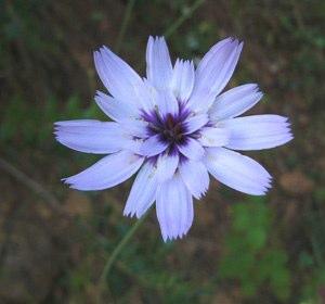 cupids-dart-flower-catananche-caerulea
