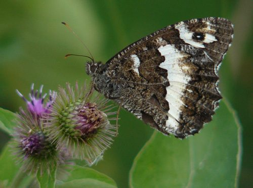 great-banded-grayling-brintesia-circe-on-lesser-burdock