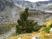 pinus-uncinata-mountain-pine1