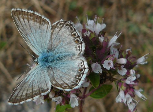 provence-chalk-hill-blue-polyommatus-hispana-in-spain