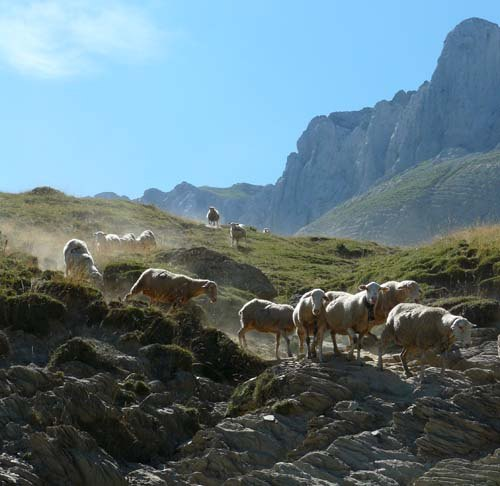 athletic-sheep-in-the-pyrenees