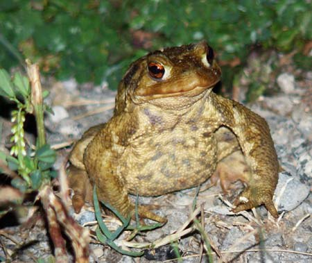 common-toad-bufo-bufo-out-night-walking