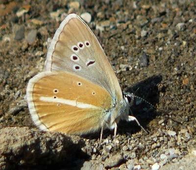 damon-blue-agrodiaetus-damon