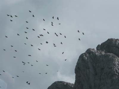 flock-of-alpine-choughs-in-pyrenees