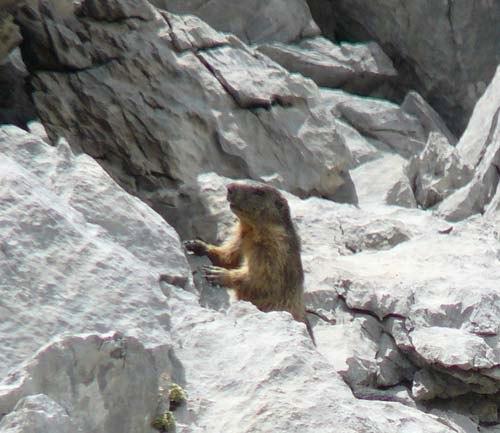 marmot-in-pyrenees-huesca