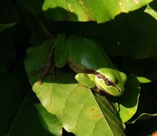 mediterranean-tree-frog-on-montjuic-barcelona
