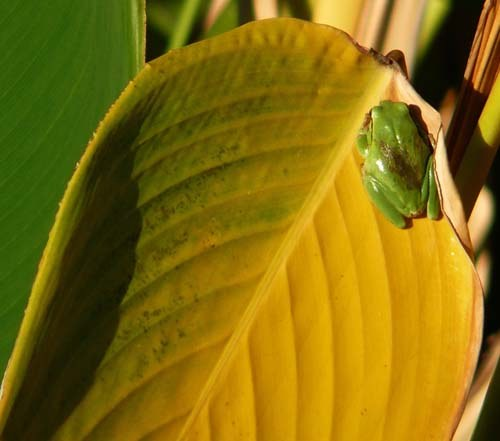 tree-frog-hyla-meridionalis-no-longer-camouflaged