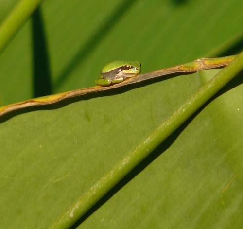 young-tree-frog-hyla-meridionalis