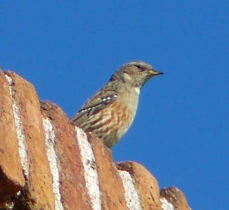alpine-accentor-at-sea-level-in-barcelona