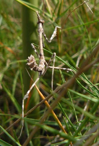cone-head-mantis-nymph-empusa-pennata