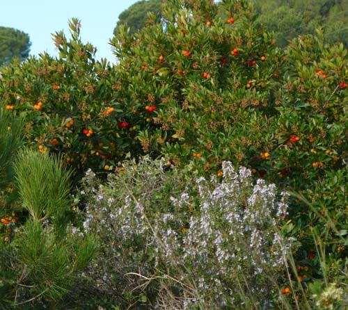 rosemary-bush-and-strawberry-tree