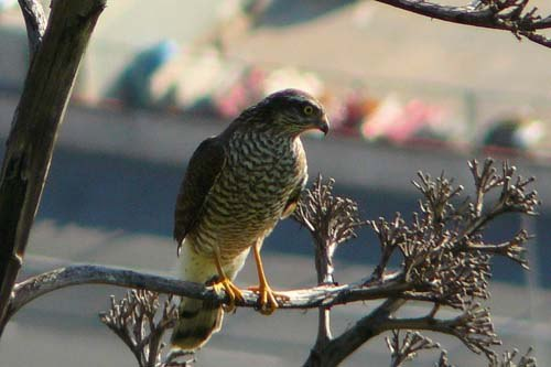 sparrowhawk-in-barcelona