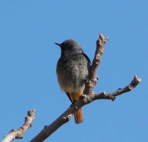 black-redstart-phoenicurus-ochruros-adult-male