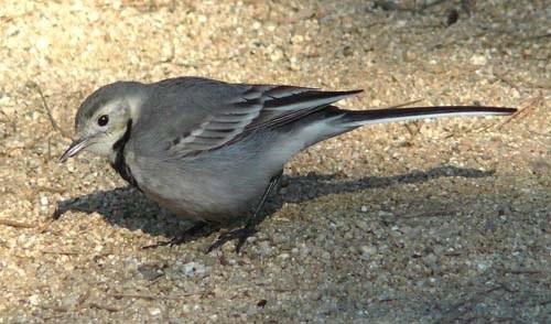 white-wagtail-motacilla-alba-winter-plumage