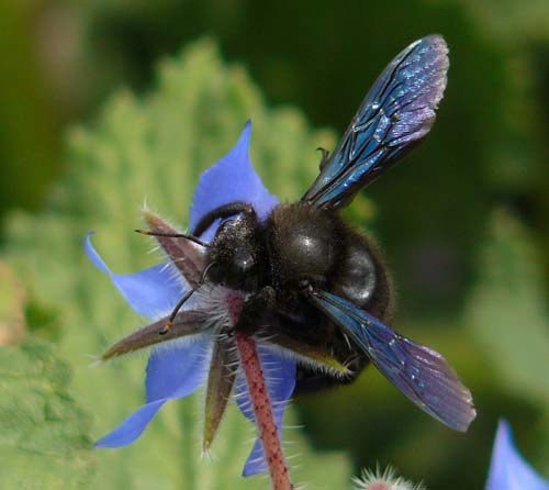 carpenter-bee-xylocopa-violacea-showing-blue-wings