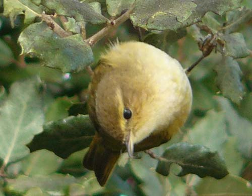 chiffchaff-picking-off-bugs