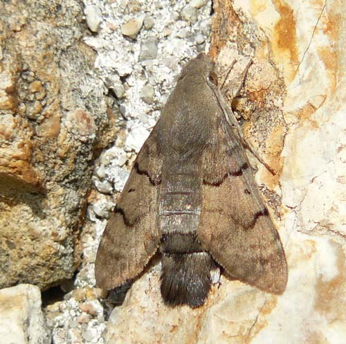 hummingbird-hawkmoth-sunbathing-on-wall