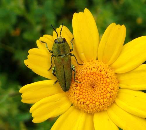 anthaxia-hungarica-jewel-beetle