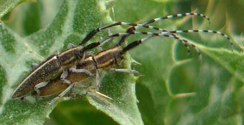 longhorn-beetles-mating-agapantia-cardui-suturalis