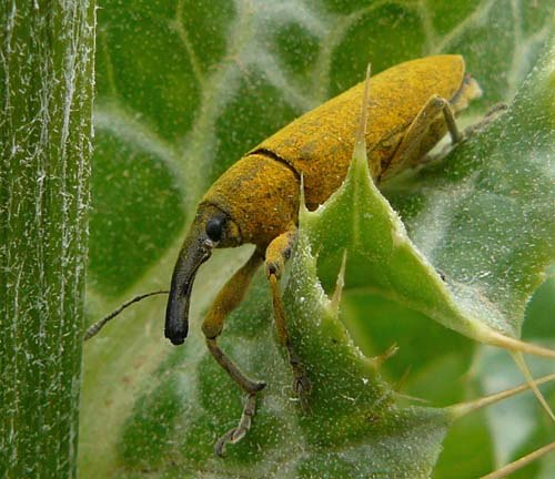 yellow-weevil-in-thistle-lixus-pulverulentus