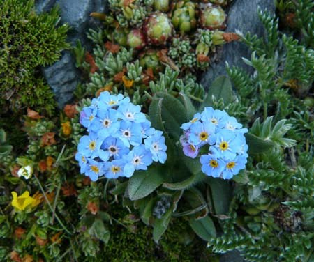 alpine-forgetmenot-myosotis-alpestris-at-over-2700-metres-in-catalan-pyrenees