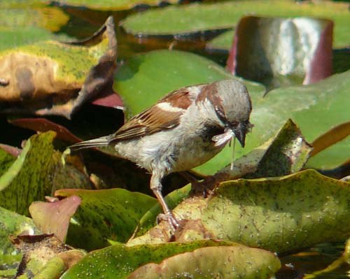 house-sparrow-hunts-for-damselflies-in-the-pond