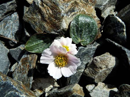 parnassus-leaved-buttercup-ranunculus-parnassifolius-in-the-scree