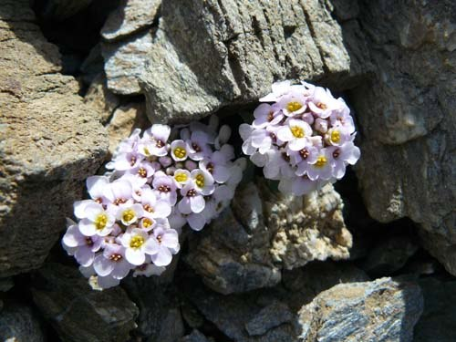 spoon-leaved-candytuft-flowers-iberis-spathulata