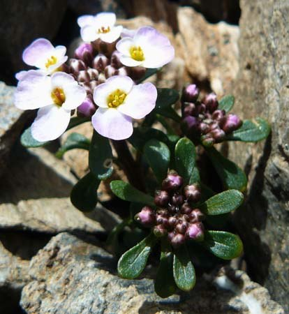 spoon-leaved-candytuft-iberis-spathulata-in-scree-below-noucreus-in-pyrenees