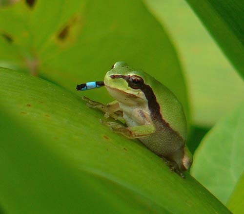 tree-frog-hyla-meridionalis-eats-bluetailed-damselfly-ischnura-graellsii