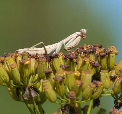 praying-mantis-nymph-sitting-on-shrubby-hares-ear-near-barcelona