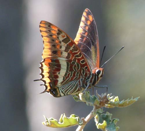 two-tailed-pasha-charaxes-jasius-guarding-its-territory