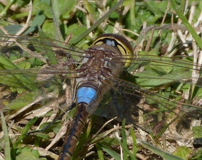 Vagrant emperor dragonfly - Anax ephippiger - on Montjuic Barcelona