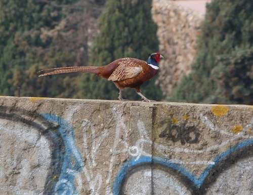 pheasant on Montjuic
