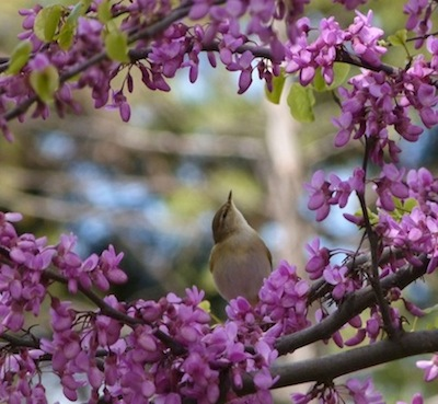 willow warbler pausing on migration in Montjuic Barcelona