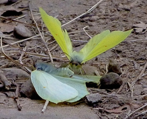 brimstone butterflies (Gonepteryx rhamni) mating and wing-walking