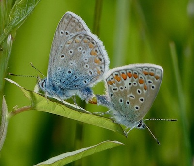 mating common blues (Polyommatus icarus) fused together