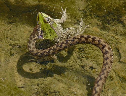 viperine snake (Natrix maura) biting iberian water frog (Pelophylax perezi)