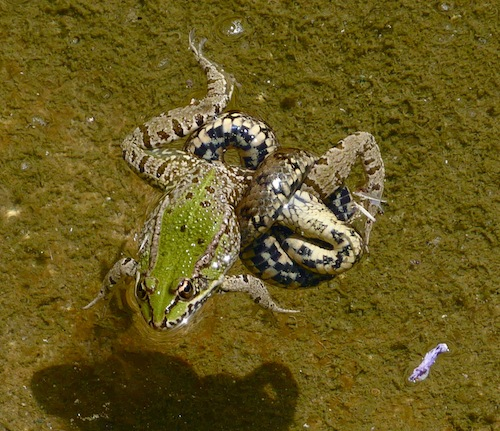 viperine snake knots itself around iberian water frog